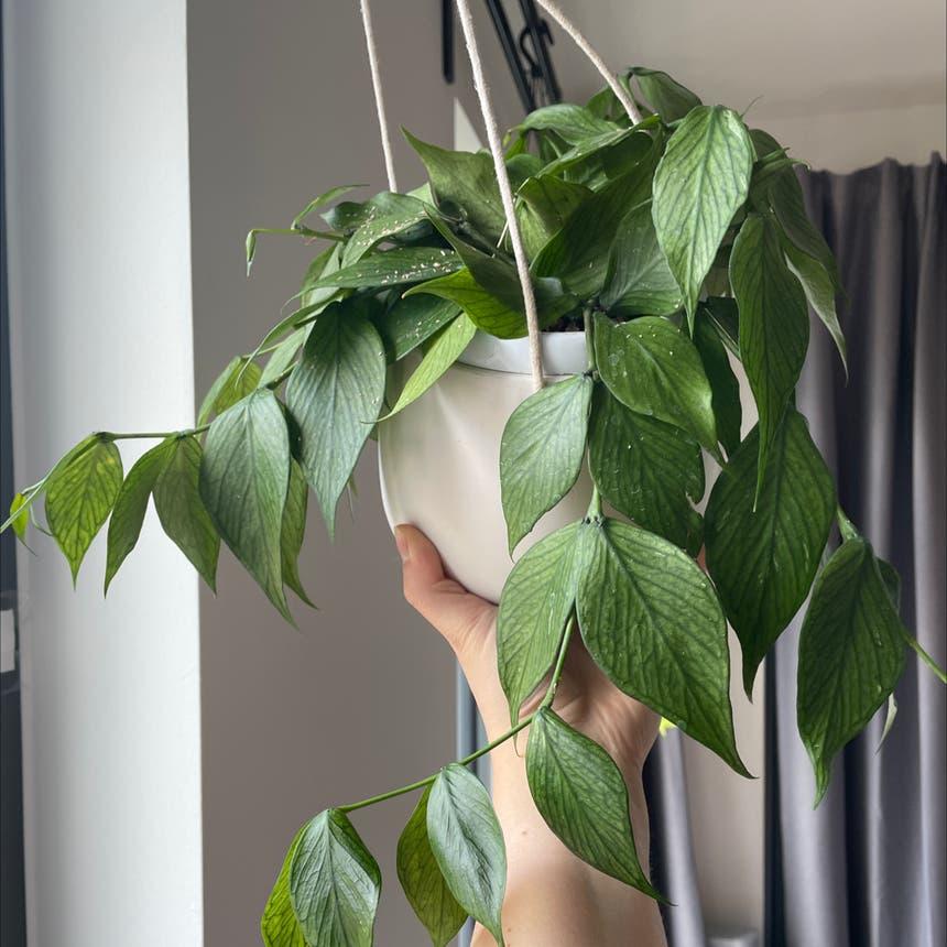Fishtail Hoya plant in London, England