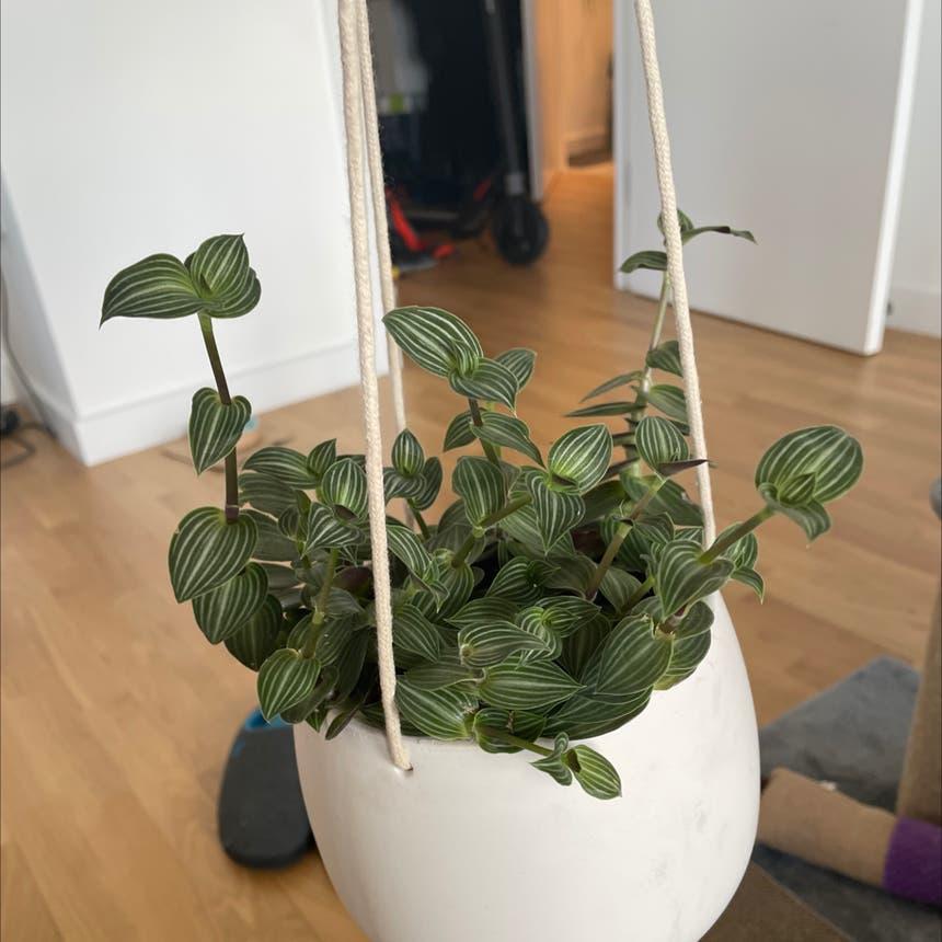 Small-Leaf Spiderwort plant in London, England