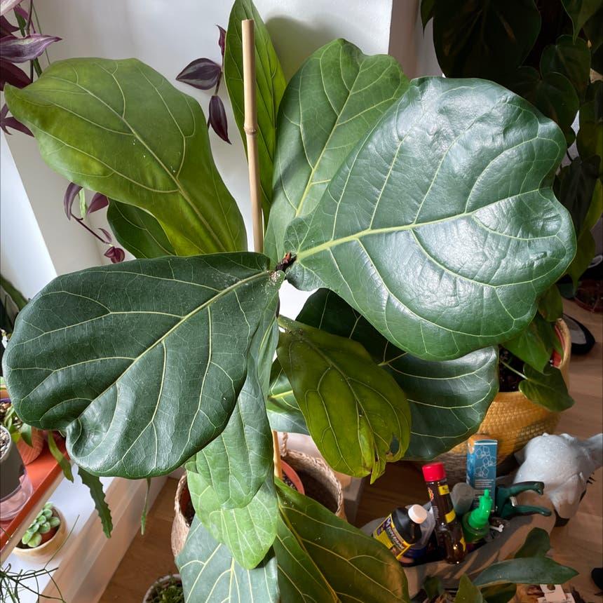 Fiddle Leaf Fig plant in London, England