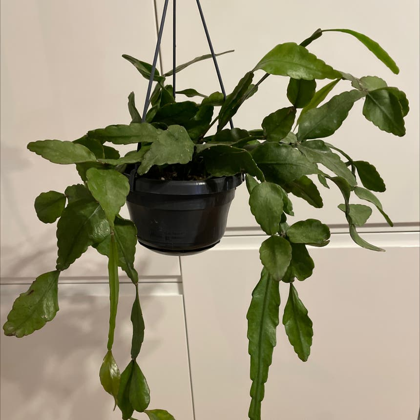 Rhipsalis elliptica plant in London, England