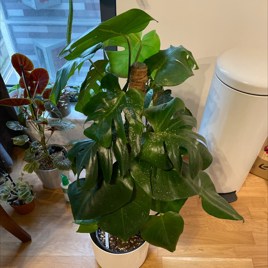 Monstera plant in London, England