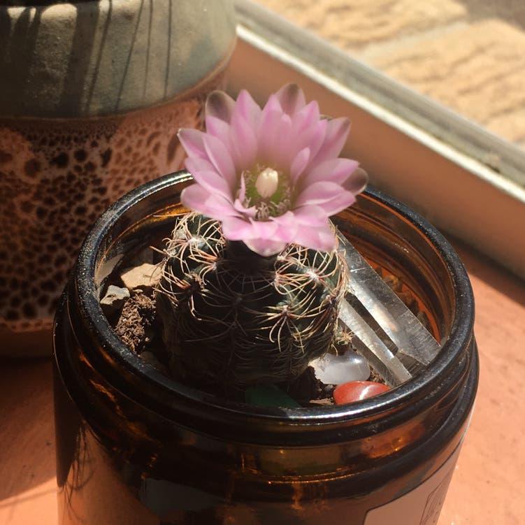 Bruch's Chin Cactus plant in Denver, Colorado