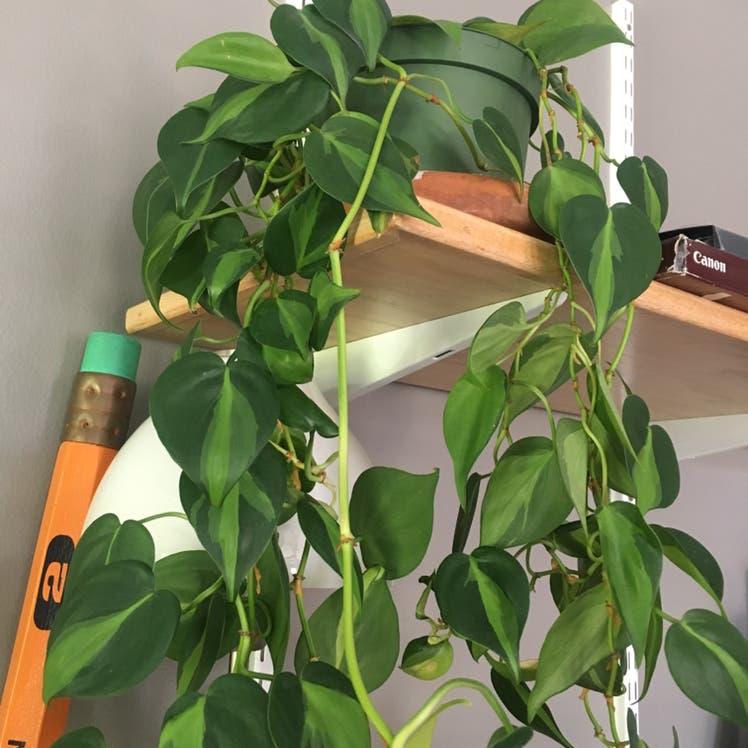 Philodendron 'Brasil' plant in Denver, Colorado