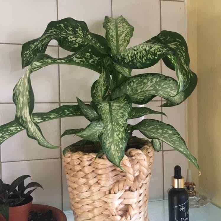 Dieffenbachia plant in Denver, Colorado
