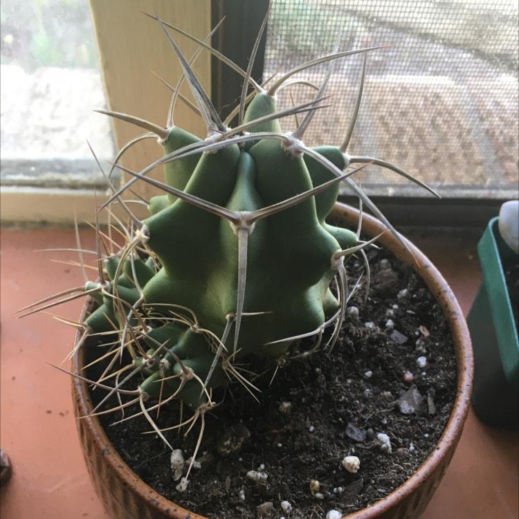 Kingcup Cactus plant in Denver, Colorado