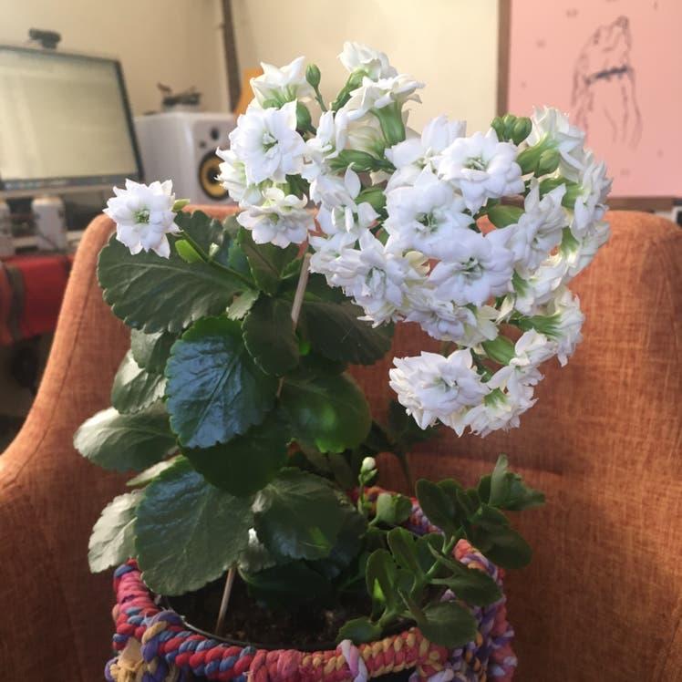 Florist Kalanchoe plant in Denver, Colorado