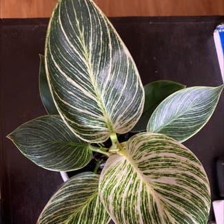 Philodendron 'Birkin' plant in Denver, Colorado