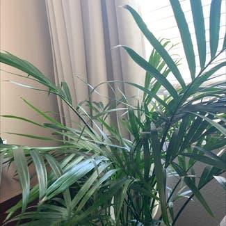 Cat Palm plant in Denver, Colorado