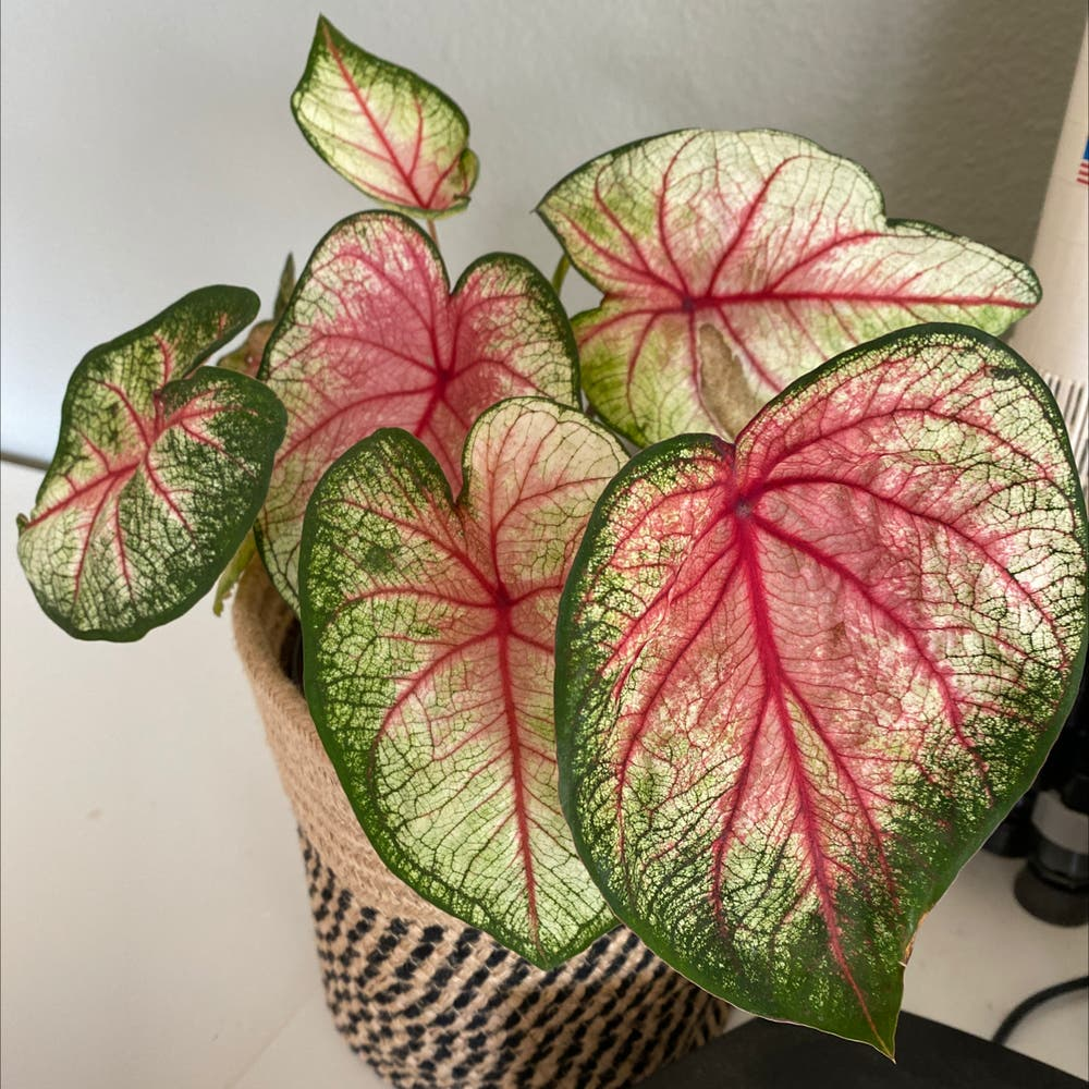 Photo of the plant species Angel Wings by Greenberry named Queen on Greg, the plant care app