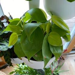 Philodendron 'Lemon Lime' plant