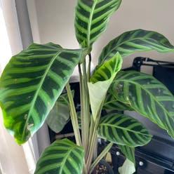 Calathea Zebra plant