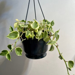Variegated Peperomia Scandens plant