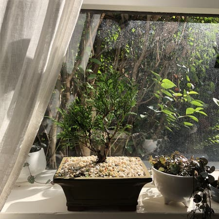 Photo of the plant species Calocedrus Decurrens by Melmelanieb named Bonsai on Greg, the plant care app