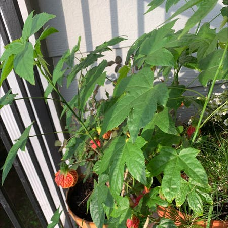 Photo of the plant species Bladder Cherry by Zerifore named Aria on Greg, the plant care app