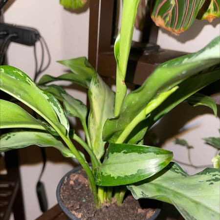 Photo of the plant species Dumb Cane 'Reflector' by Darlingnikki77 named Bigleef Smalls on Greg, the plant care app