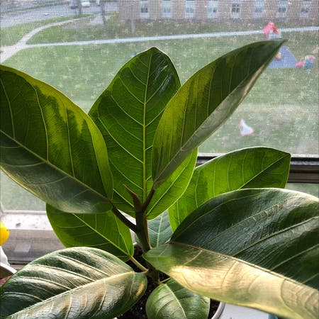 Photo of the plant species Banyan Fig by Mikemike named Aristotle on Greg, the plant care app