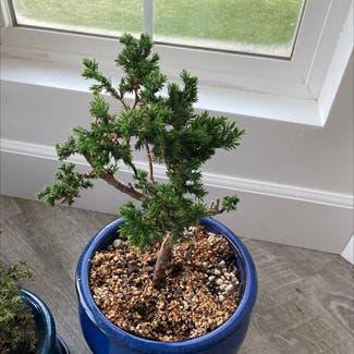 American juniper plant in Montebello, California