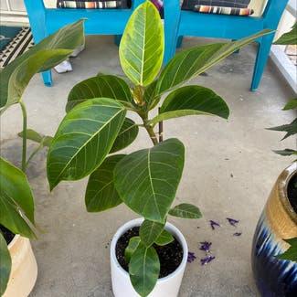 Audrey Ficus plant in Montebello, California