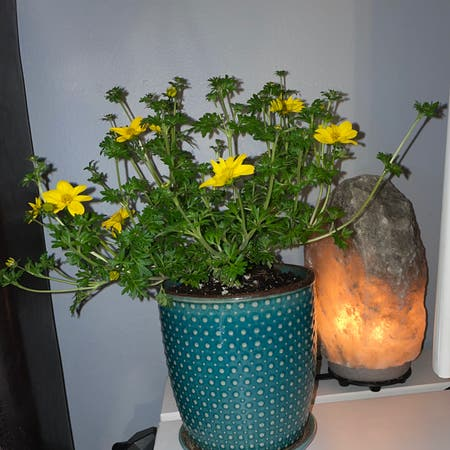 Photo of the plant species Euryops Pectinatus by Sicily named Sunshine on Greg, the plant care app