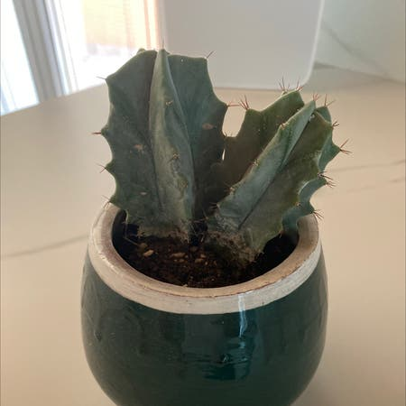 Photo of the plant species Blue Myrtle Cactus by Lukeskywalker named Diglet on Greg, the plant care app