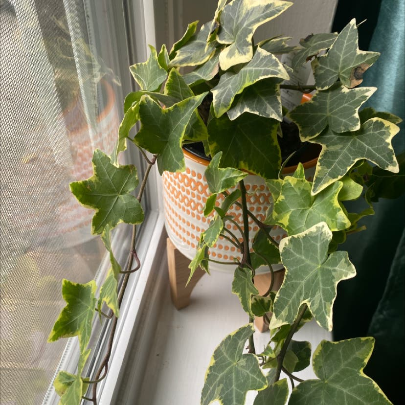 English Ivy plant in Tyler, Texas