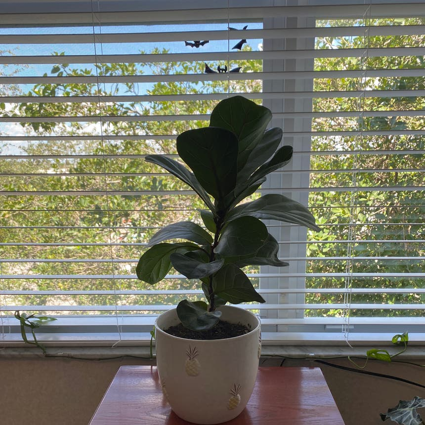 Fiddle Leaf Fig plant in Pompano Beach, Florida