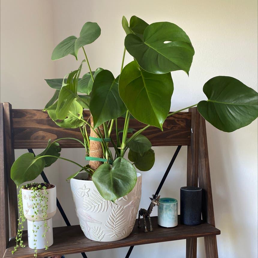 Monstera plant in Pompano Beach, Florida
