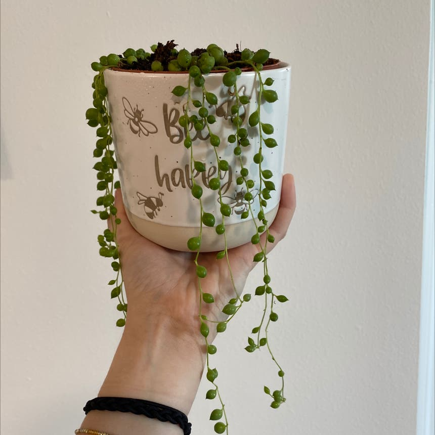 String of Pearls plant in Pompano Beach, Florida