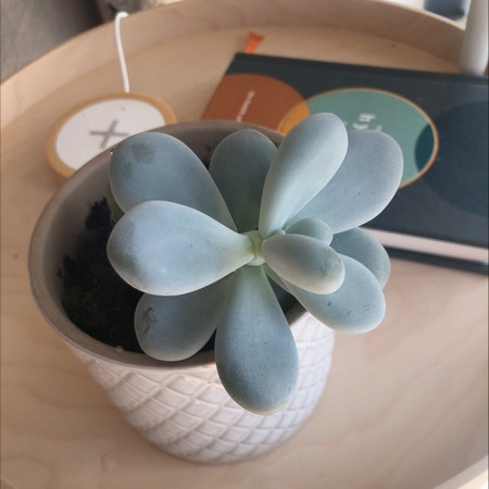 Photo of the plant species Moonstone by Heyitsmike named Mr Bean on Greg, the plant care app