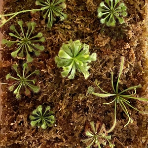 Spoon-Leaved Sundew plant photo by Casacass named Senate on Greg, the plant care app.