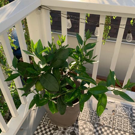 Photo of the plant species Persian Lime by Wheresmycanvas named Deck Lime Tree on Greg, the plant care app