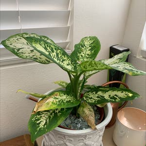 Rating of the plant Dieffenbachia named difficult by Alinyaa on Greg, the plant care app
