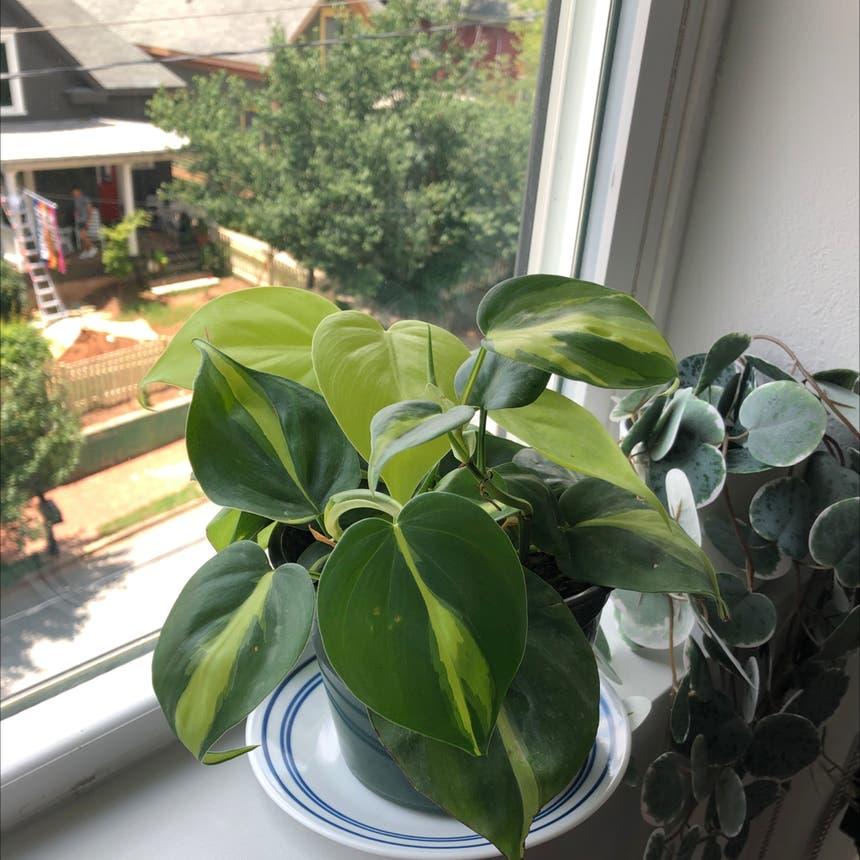 Philodendron 'Brasil' plant