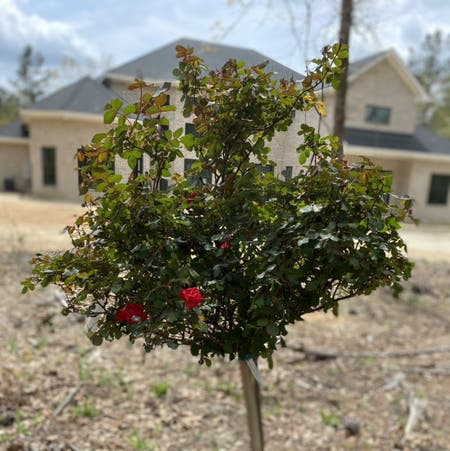 Photo of the plant species Knockout Red Rose by Avicake named Lucy on Greg, the plant care app