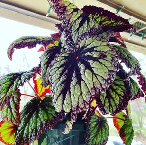 Rex Begonia plant photo by Xxpinksirenxx named Aries on Greg, the plant care app.