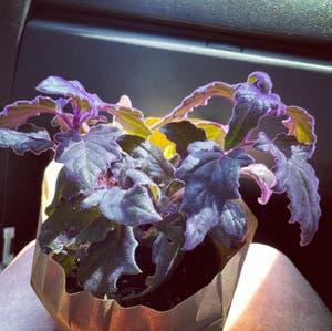 Purple Velvet Plant plant photo by Xxpinksirenxx named Venus on Greg, the plant care app.