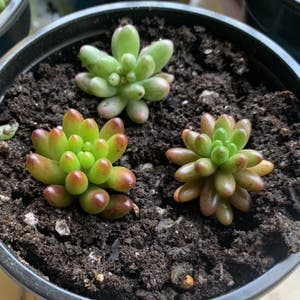 Jelly Beans plant photo by Keyshaj named Powerpuff Girls on Greg, the plant care app.