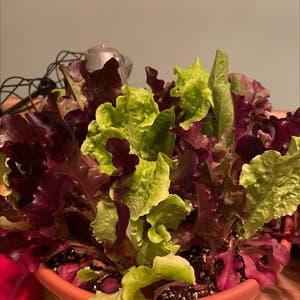 Lettuce plant photo by Jessicarose329 named LiloStitch on Greg, the plant care app.