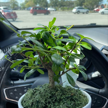 Photo of the plant species Carmona retusa by Satan666 named Barb on Greg, the plant care app