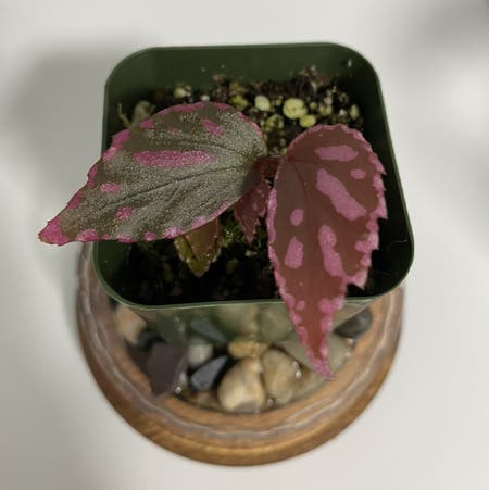 Photo of the plant species Begonia 'Julau' by Lostsoul named Butterfly on Greg, the plant care app