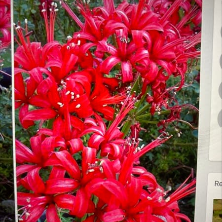 Photo of the plant species Hell Flower by Donna named Your plant on Greg, the plant care app