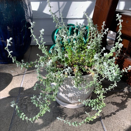 Photo of the plant species Trailing Dusty Miller by Morgan3300 named Elle on Greg, the plant care app