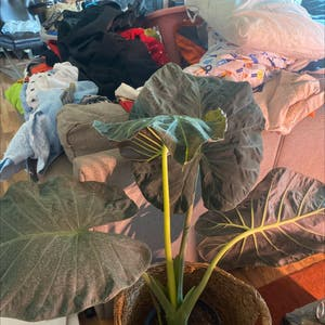Giant Taro plant photo by Manicmagan named Anson on Greg, the plant care app.