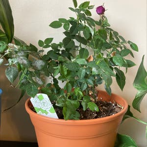 China Rose plant photo by Katie named Your plant on Greg, the plant care app.
