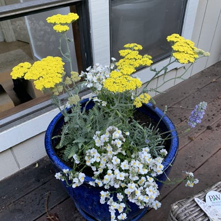 Photo of the plant species Nemesia fruiticans by Graciegraciebobacie named Stella on Greg, the plant care app