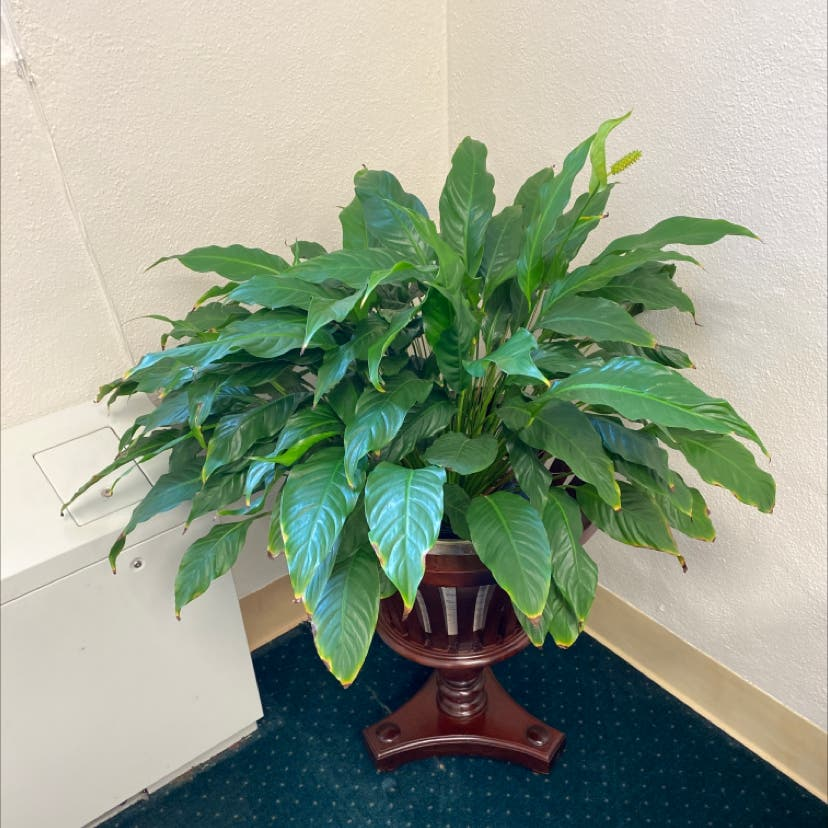 Peace Lily plant in Wilmore, Kentucky