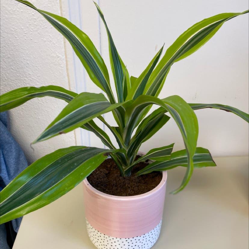 """Dracaena """"Warneckii' plant in Wilmore, Kentucky"""