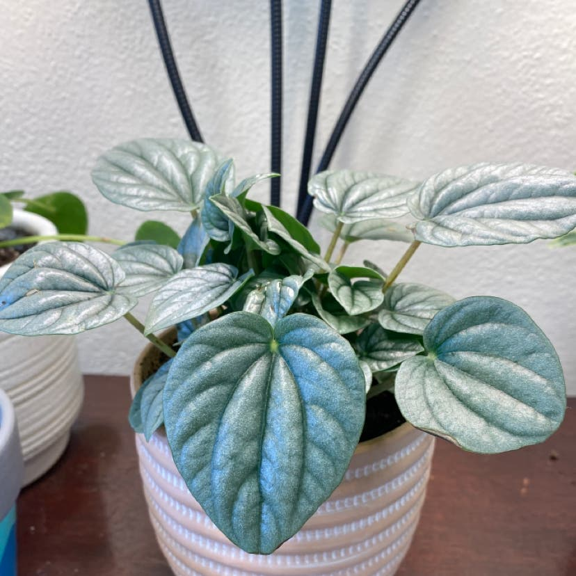 Silver Frost Peperomia plant in Wilmore, Kentucky