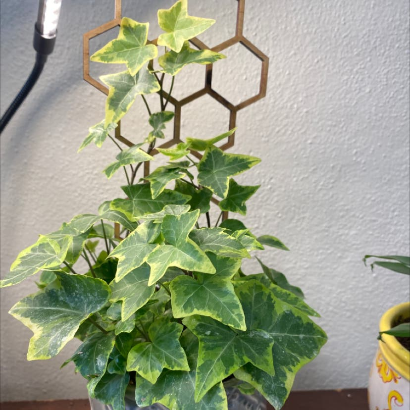 English Ivy plant in Wilmore, Kentucky