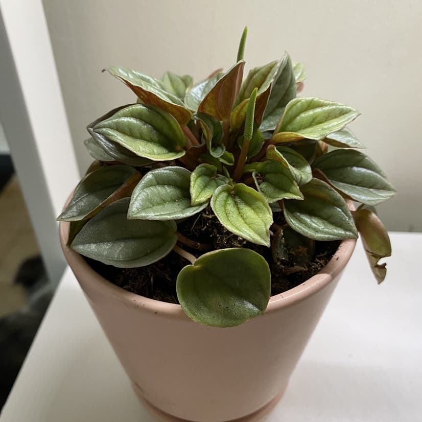 Peperomia 'Rosso' plant in Wilmore, Kentucky